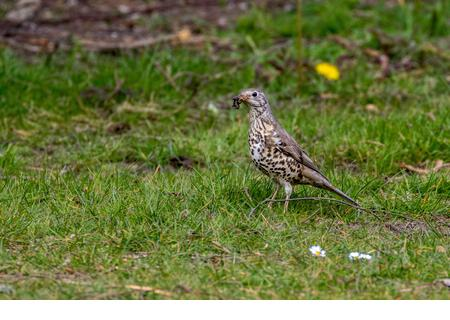 Thrush collecting worms in a town centre park. - Stock Image