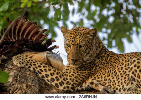 Male African Leopard (Panthera pardus pardus) eating an Impala (Aepyceros melampus) killed the previous night in a tree. South Luangwa National Park. - Stock Image