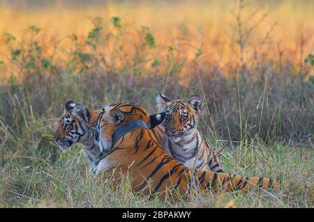 Tigress playing with her cubs - Stock Image