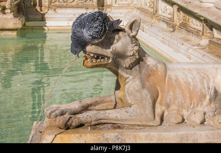 Pigeon drinking on the Gaia fountain at the Campo square, Siena - Stock Image