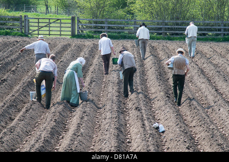 People Planting potatoes by hand in a field Beamish Museum north east England UK - Stock Image