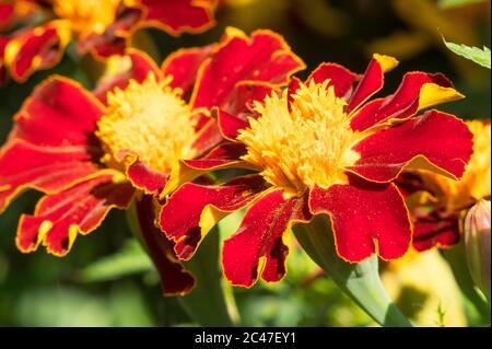 Close up of French marigold (Tagetes patula) flowers, England, UK - Stock Image