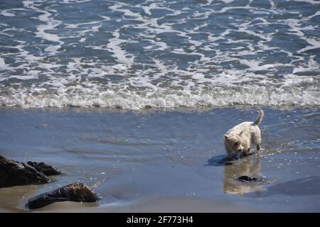 Little dog on the beach, Maine - Stock Image
