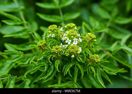 An unknown plant on St Mary's Island, Isles of Scilly, England, UK - Stock Image