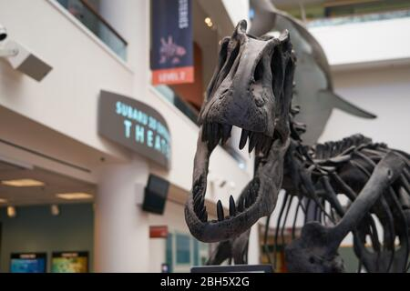 A T-Rex skeleton on display at the San Diego Natural History Museum in Balboa Park. - Stock Image