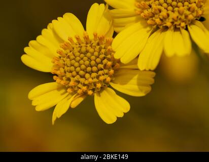 Bright yellow close up of brittlebush (Encelia farinosa) sunflower wildflower - Stock Image