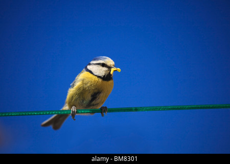 Blue Tit, Cyaniste Caeruleus, on a washing line with grubs for feeding young chicks - Stock Image