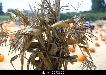 Underwood Farms Fall Festival Pumpkins 2020 - Stock Image