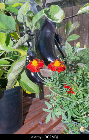 Companion planting marigolds and aubergines within greenhouse - Stock Image