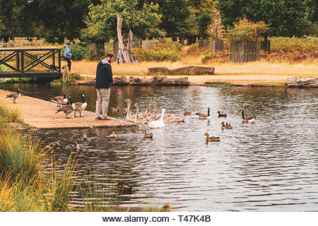 Man feeding birds in bushy park - Stock Image