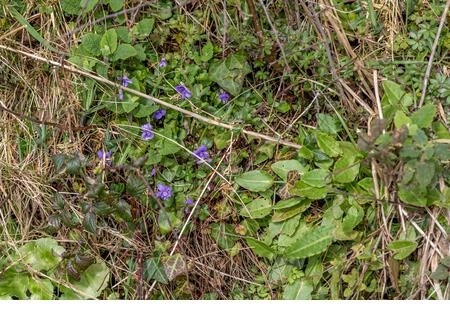 Wild sweet violets nestling in a typical Devon hedgerow. - Stock Image