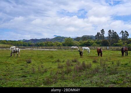 Brown and white horses at a farm graze on grass in a field in front of forested hills and Mt. Saint Helena on a cloudy day in Windsor, California. - Stock Image