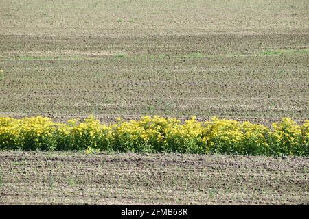Wildflowers growing in corn field in spring - Stock Image