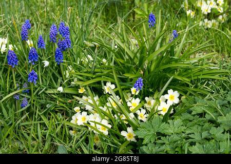 Tulips ( tulipa ollioules ) flowering in a spring garden UK April - Stock Image