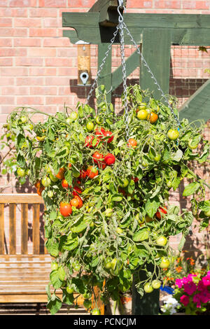 Bush tomato f1 hybrid Tumbler growing in a hanging basket, north east England, UK - Stock Image