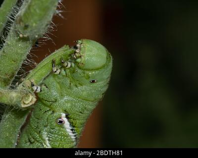 Tomato hornworm, Manduca quinquemaculata, close up showing the caterpillar eating on a tomato plant stalk - Stock Image