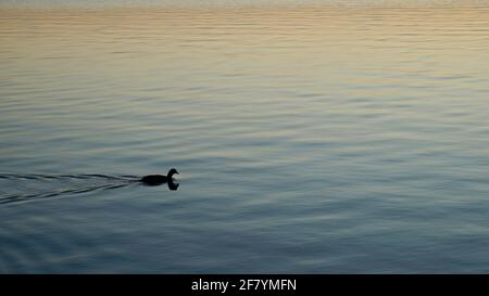 A little duck is swimming in the lake during sunset time. - Stock Image
