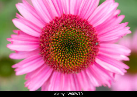 A closeup of an Echinacea 'Delicious Candy' coneflower in Lower Austria - Stock Image
