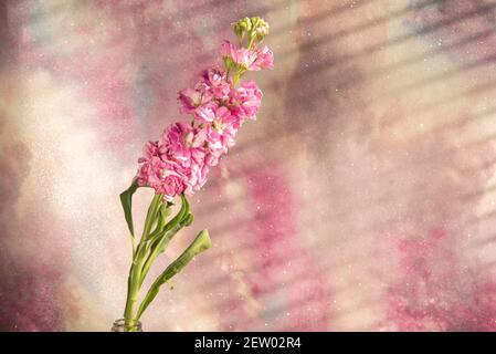 pink shop flower in still life set up with grey and yellow backdrop - Stock Image
