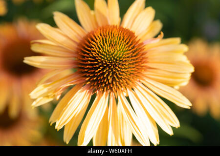 Cone Flower yellow petals - Stock Image