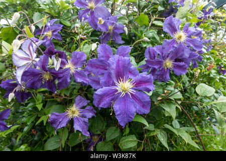 Close up view of purple clematis flowers. - Stock Image