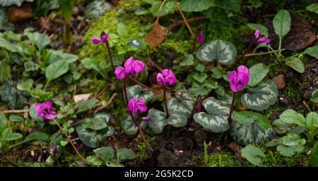 Winter cyclamen, magenta winter cyclamen in bloom - Stock Image