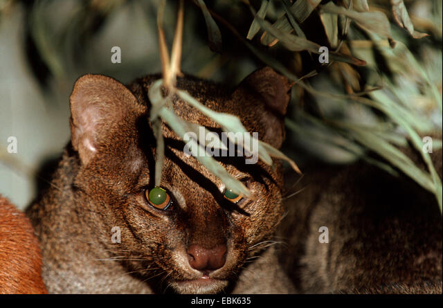 jaguarundi (Felis yagouaroundi, Herpailurus yagouaroundi), portrait - Stock Image