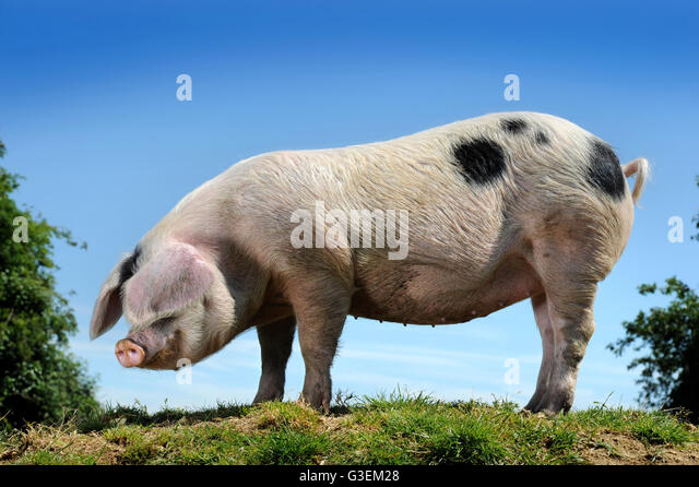 A Gloucester Old Spot pig on a hot day near Cirencester, Gloucestershire UK - Stock Image