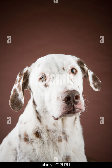 Portrait of a dalmatian against a brown background. - Stock Image