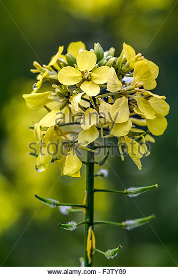 colza-flower-brassica-napus-known-as-rap