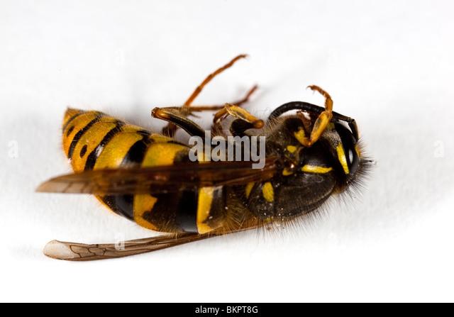 Yellow jacket wasp queen