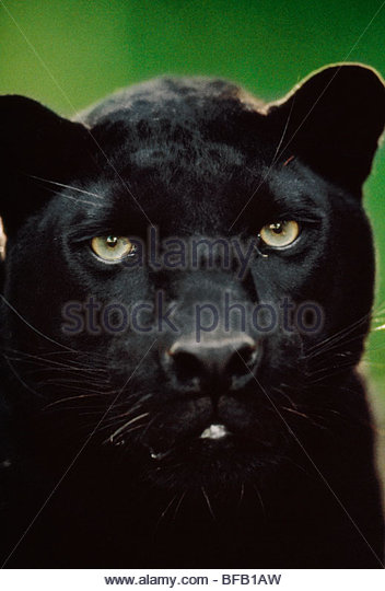 Black leopard, Panthera pardus, Native to Africa and Asia - Stock Image