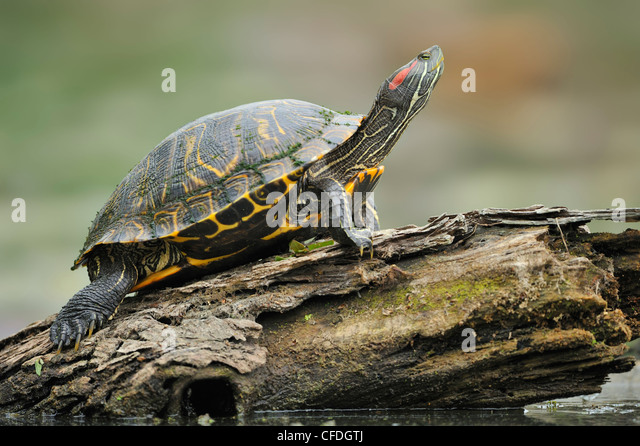 Resting turtle at Brazos Bend State Park, Texas, United States of America - Stock Image