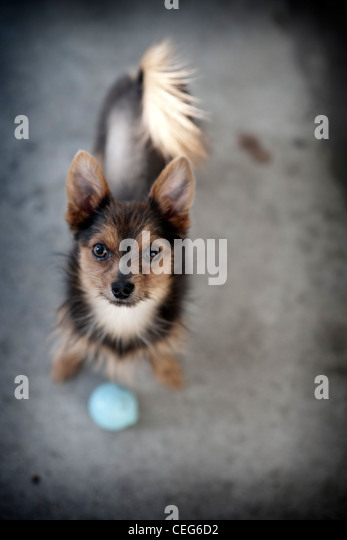 small dog looking up with blue ball - Stock Image