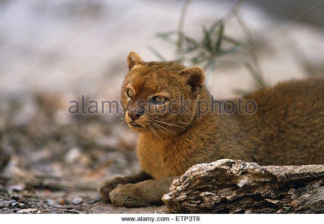 Wieselkatze, Jaguarundi (Felis yagouaroundi), sitzend,  ,  ,   | jaguarundi (Felis yagouaroundi), sitting,  ,  , - Stock Image