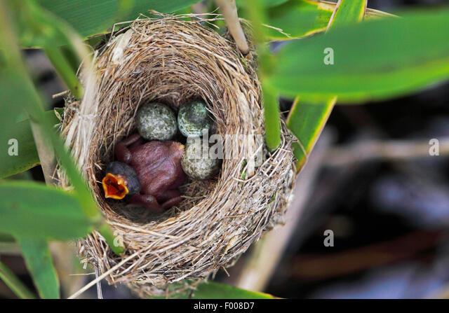 Cuckoo bird nest