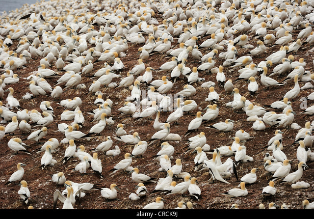 Northern Gannets (Morus bassanus) nesting in summer at Percé on the Atlantic island of Ille Bonaventure off - Stock Image