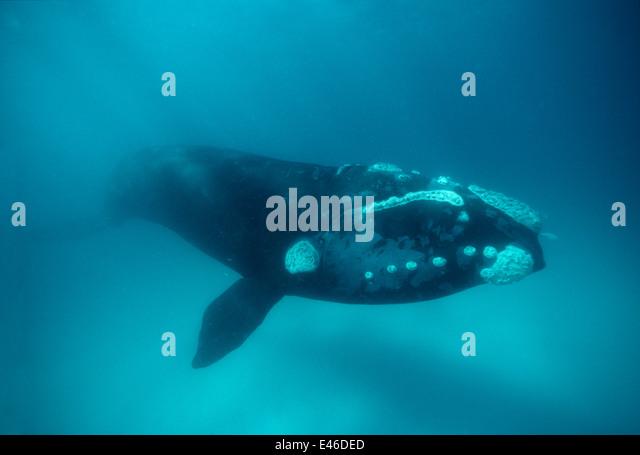 southern-right-whale-eubalaena-australis