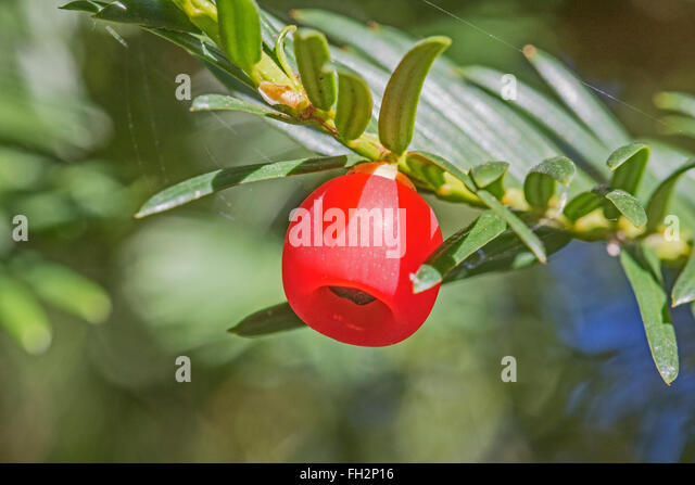 the silence of yew berries