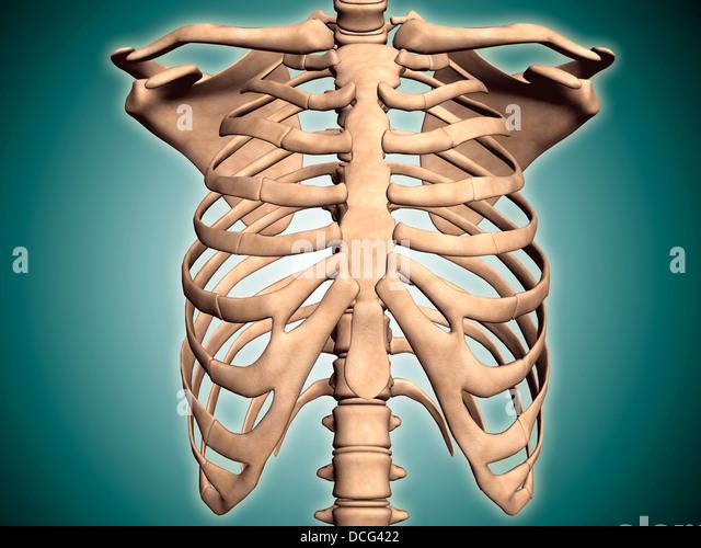 Anatomy of human ribs
