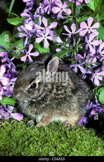 Baby cottontail rabbit, Lepus sylvaticus, hides in garden under lavender sweet William flowers - Stock Image