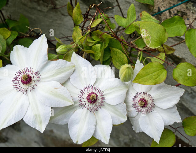 White Snow Queen Clematis  Picture Set Of Beautiful Folwers