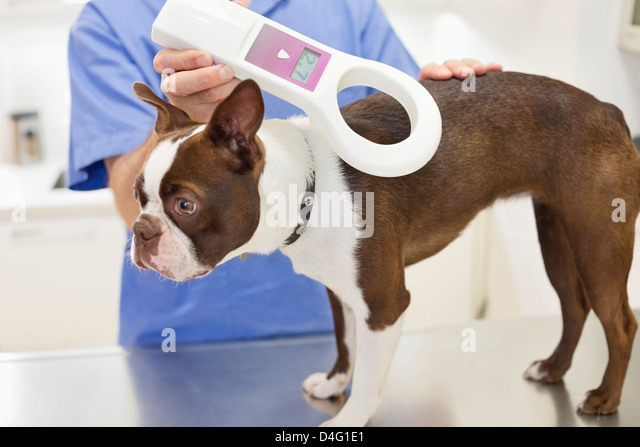 Veterinarian examining dog in vet's surgery - Stock Image