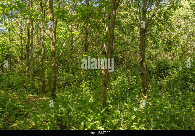 Small woodland glade of trees - typical of early summer in the English countryside and woodlands. - Stock Image