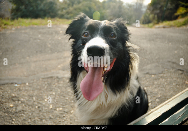 Close up of dogs panting face - Stock Image