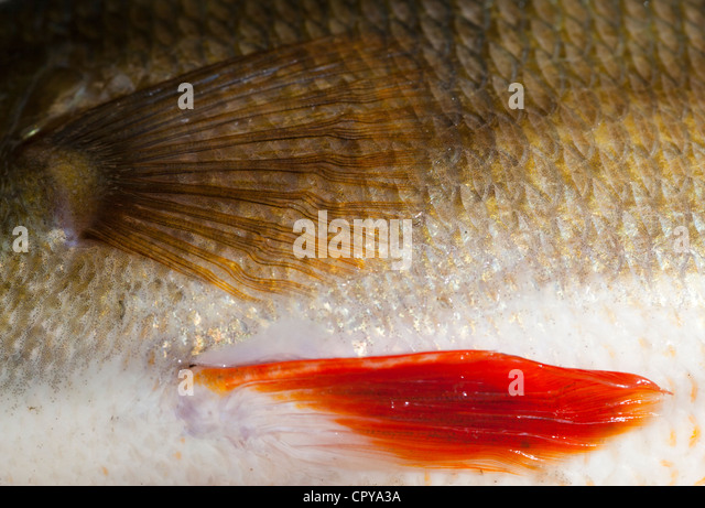 Skin and scales of a 1.1 kg freshwater perch ( perca fluviatilis ) - Stock Image