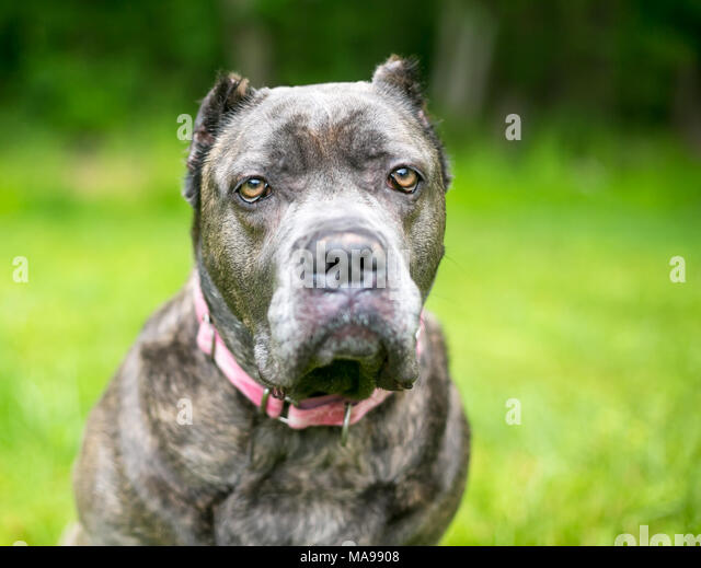 A Cane Corso mixed breed dog with cropped ears and a grumpy expression - Stock Image