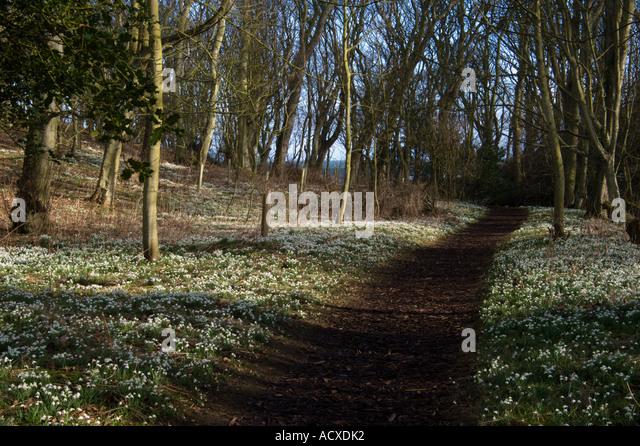 cambo-snowdrops-acxdk2.jpg