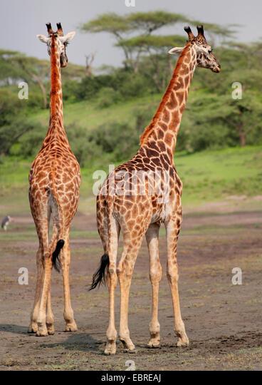 Giraffe from behind