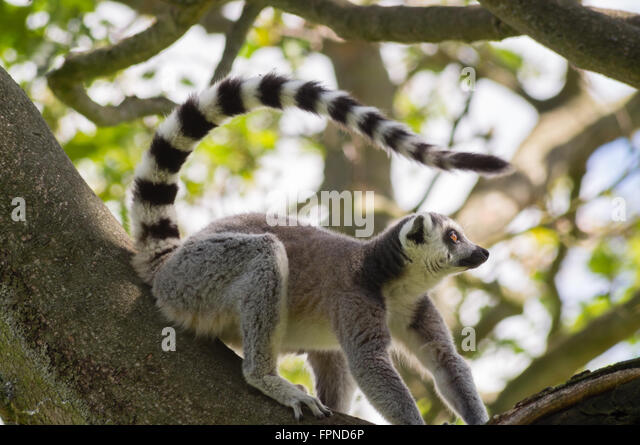 RingTailed Lemur  The Lemur Conservation Foundation